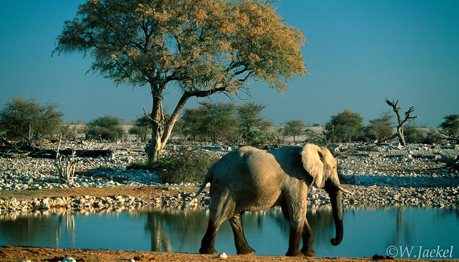 Elephant in the Etosha NP, Namibia